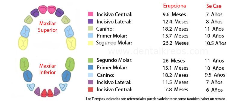 Cronograma de Erupcion Dental